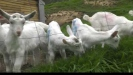 Embedded thumbnail for Goat farming may not be mainstream, but it certainly has benefits.