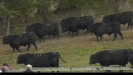 Embedded thumbnail for Report on bull sales