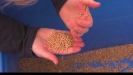 Embedded thumbnail for Insect pests of stored grain